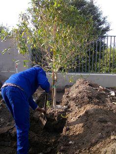 Transplanting of Forest Elder on construction site Business Design, Landscape Design, Landscaping, Construction, Activities, Plants, Building, Plant, Landscape Architecture
