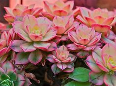 Aeonium 'Kiwi' | Flickr - Photo Sharing!