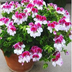 Bonsai  Two-color Red White Univalve Geranium Seeds Perennial Flower Seeds Pelargonium Peltatum Seeds for Indoor Rooms 10 seeds / Bag -- Locate the offer simply by clicking the image