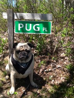 Hello, welcome to Pug Place:)