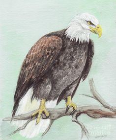 Bald Eagle Painting by Morgan Fitzsimons - Bald Eagle Fine Art Prints and Posters for Sale