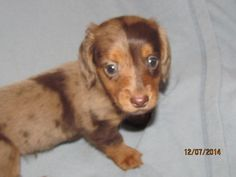 Puppies for sale - Miniature Dachshunds, Doxies, Dachsies - in Alma, Michigan