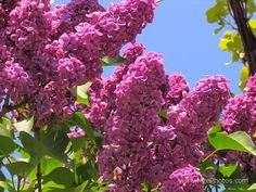 Dark pink lilac for spring.  I can't tell which is better, how beautiful it is, or its fragrance!
