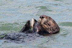 Sea otter gobbles up a tasty clam - October 3, 2015