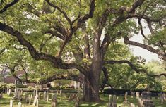 White oak in the churchyard of the Presbyterian Church in Basking Ridge, NJ.  It is said to be about 600 years old.
