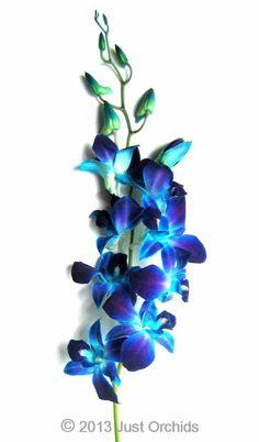 Bulk Fresh Flowers-Dyed Blue Bom Dendrobium Orchids (Wholesale Pack of 70 Stems) #JustOrchids