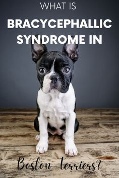 Does your Boston Terrier frequently snore loudly or have noisy breathing? If so, your Boston Terrier may have a condition known as Brachycephalic Syndrome. #bostonterriersociety #bostonterrier #bostonlove #bosties #bostondogs #doglove #dogcare #petcare Pet Care Tips, Dog Care, Flat Faced Dogs, Embrace Pet Insurance, Akc Breeds, Dog Health Care, Health Tips, Boston Terriers, Boston Terrier Rescue