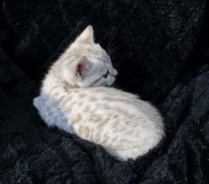 ... cat more bengal cats kitty cats kitten white bengal kittens crazy cat
