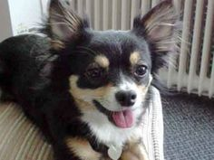 This is Princess. Because of an accident involving another long-haired Chihuahua that killed his wife, Grady hates all little dogs, but especially this one because she looks just like his wife's dog. Unfortunately, Grady's dog, Duke, thinks Princess is totally charming.