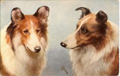 A pair of Sable Collies are featured on this vintage postcard -- by Carl Reichert