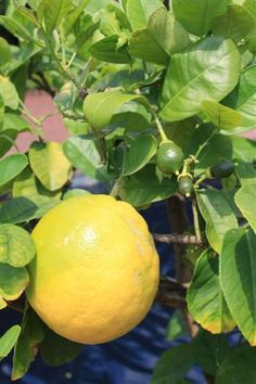Ponderosa lemon is s species hybrid between lemon and citron. It bears medium to large fruit that have a thick and bumpy rind