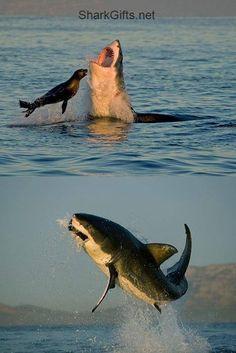 Great white shark breaching off Seal Island in South Africa The Great White, Great White Shark, Orcas, Most Beautiful Animals, Beautiful Creatures, The Mermaid Inn, Shark Bait, Shark Fish, Ocean Ecosystem