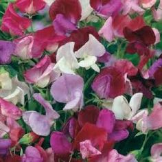 Sweet Pea Old Fashioned Mix Seeds - Irish Plants Direct