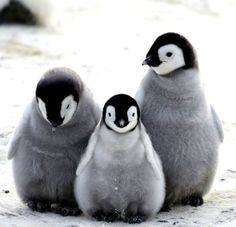 Penguin Facts, Penguin Day, Penguin Animals, Penguin Love, Cute Baby Animals, Animals And Pets, Penguin Craft, Animal Babies, Cute Creatures