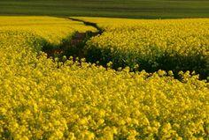 Canola - Swartland West Coast, South Africa, Vineyard, African, Pentax K, Nature, Plants, Travel, Outdoor