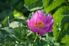 Munkinpioni   Vesan viherpiperryskuvat – puutarha kukkii