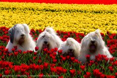 These Inseparable Sheepdog Sisters Will Make You Smile All Day