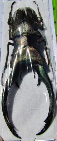 Lot of 10 Rare Staghorn Beetle Cyclommatus truncatus 70mm Male FAST SHIP FROM US