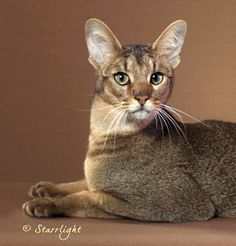 Advanced New Breed -  Chausie - photo by Diana Starr
