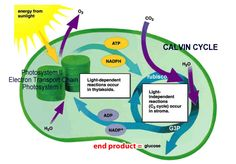 Description of photosynthesis for AP Biology students which includes the structure of a chloroplast, absorption and action spectrums, and the steps involved in the light reaction and the calvin cycle. Ap Biology, Science Biology, Teaching Biology, Physical Science, Science Lessons, Science Projects, Life Science, Fair Projects, Science Fair