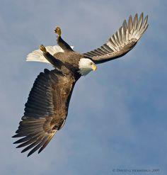 Bald Eagles of Alaska - Bird Photography by David G Hemmings
