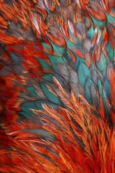 A beautiful array of different coloured feathers. Rooster feathers remind me of a phoenix.