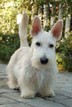 Cute terrier  ✨