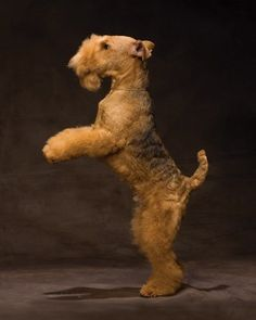 Lakeland Terrier's are clowns