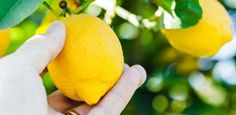 10 frutíferas de pequeno porte embelezam a casa e oferecem delícias frescas