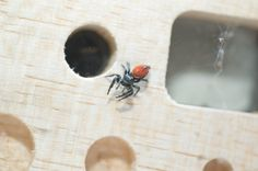 YouTube Space Lab's Space-Traveling Jumping Spider is Back on Earth