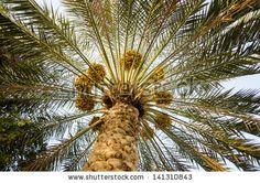 Pálmafa gyümölcs