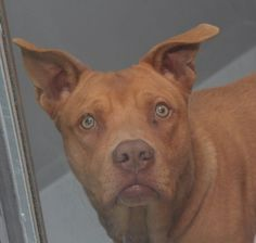 LOUIE-ID#A691365    My name is LOUIE.    I am a male, tan Pit Bull Terrier mix.    The shelter staff think I am about 2 years and 1 month old.    I have been at the shelter since Dec 27, 2012.
