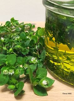 Gesundheit The chickweed - delicate plant - great effect - medicinal herb power Los Angeles Orchid Care, Medicinal Herbs, Permaculture, Organic Recipes, Good To Know, Gwyneth Paltrow, Herbalism, The Cure, Remedies