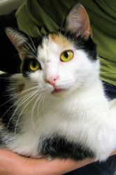 Peggy Sue is an adoptable Calico Cat in Saint Paul, MN. Hi! I thought I'd try to do my own marketing with the help of my photographer while my biographer is unavailable. You wouldn't believe all the h...
