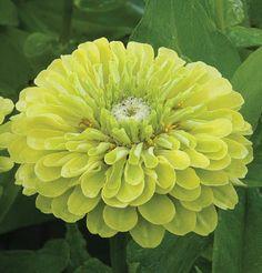 Benary's Giant Lime,,through Johnnys seed ,, companyhttp://www.johnnyseeds.com/p-6374-benarys-giant-lime.aspx#