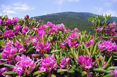 Rhododendron in full bloom at Roan Mountain (usually mid June) in North Carolina.