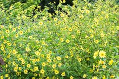 Late Bloomer: Sunflower