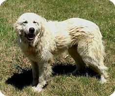 4/30/14 Garland, TX - Great Pyrenees. Meet Theo a Dog for Adoption.