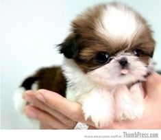 Little baby puppy...too cute for words! I WANT TO KEEP YOU FOREVER. It'z a tiny shih tzu pup