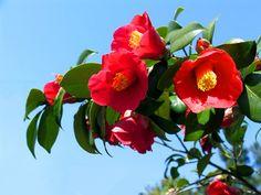 동백꽃 추억. 어른 거리는 님 = 알림,자유,종교, Flower Pictures, Art Pictures, Still Life Photos, Spring Blossom, Plant Care, Beach Babe, Red Flowers, Pomegranate, Planting Flowers