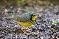 mariquita-do-canadá_Cardellina canadensis_migrante da America do Norte _Brazilian Birds