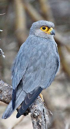 Birds Amur Falcon Breeds In Sibera Crazy Dress Troser Sock For Men Women Botts