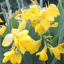 For more information about Canna 'Lemon Punch'
