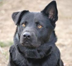 Max (Courtesy Post) is an adoptable Labrador Retriever Dog in Spring Lake, NJ. This is a courtesy post, so please do not contact Rescue Ridge, but instead contact Michele at:   848-333-2701  or email ...