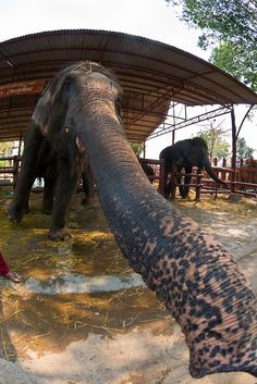 Elephantstay (Elephant village), Ayutthaya, Thailand