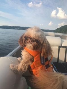 Quality ShihTzu for quality homes for Pets and Therapy dogs. We offer LIFETIME advice for your Glory Ridge ShihTzu. Imperial shihtzu to standard size shihtzu in every color. Therapy Dogs, Shih Tzu, Missouri, Puppies, Cream, Pets, Funny, Creme Caramel, Cubs