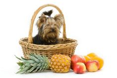 Best Dog Food For Yorkies - How to feed a Yorkie