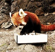 Because there are moments as good as this :-) Image: Red Panda Eating Sushi