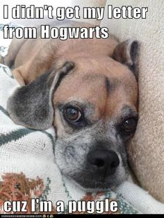 funny-dog-pictures-i-has-a-hotdog-puggles.jpg 500×667 pixels
