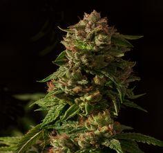 Strain Grade Reviews: Fallen Angel Strain Review   #cannabis #weed #pot #marijuana